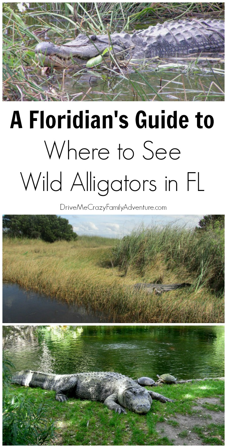 Where to See Large Alligators in Florida #FloridaTravel #VisitFL