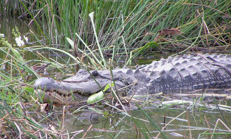 Where to See Wild Alligators in Florida
